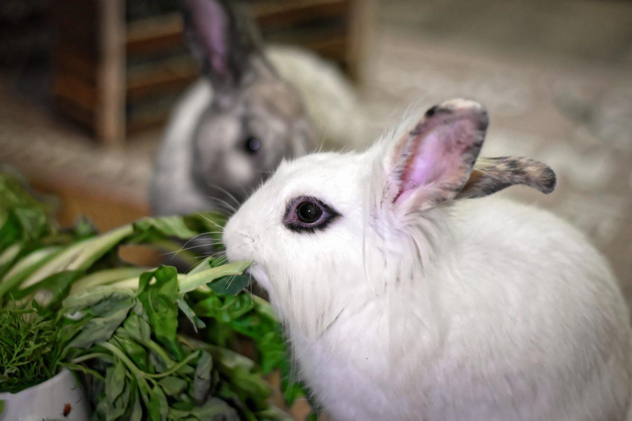 почему кролики едят свои экскременты