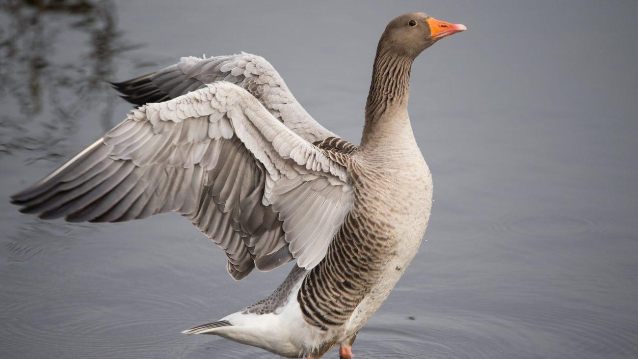 описание гусей