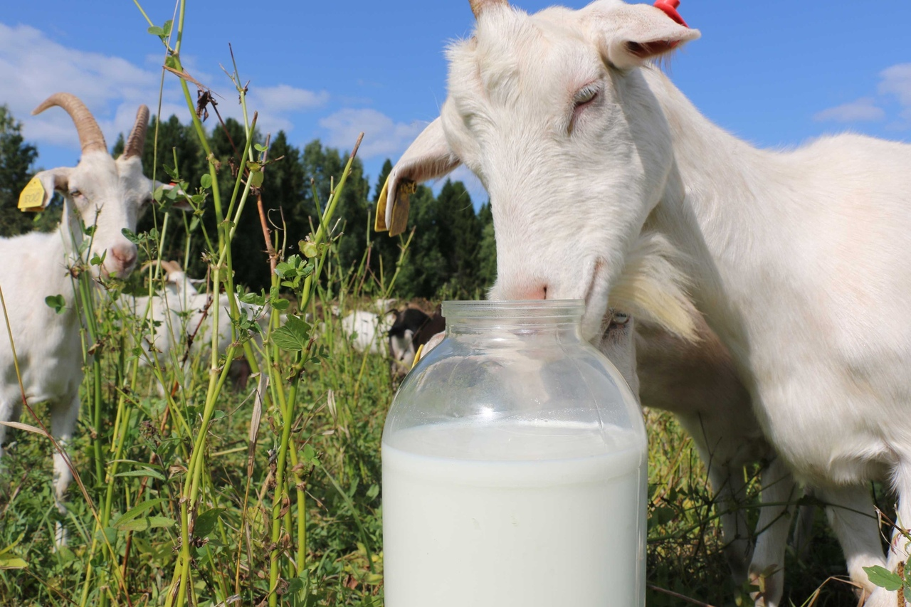 почему коза дает молоко
