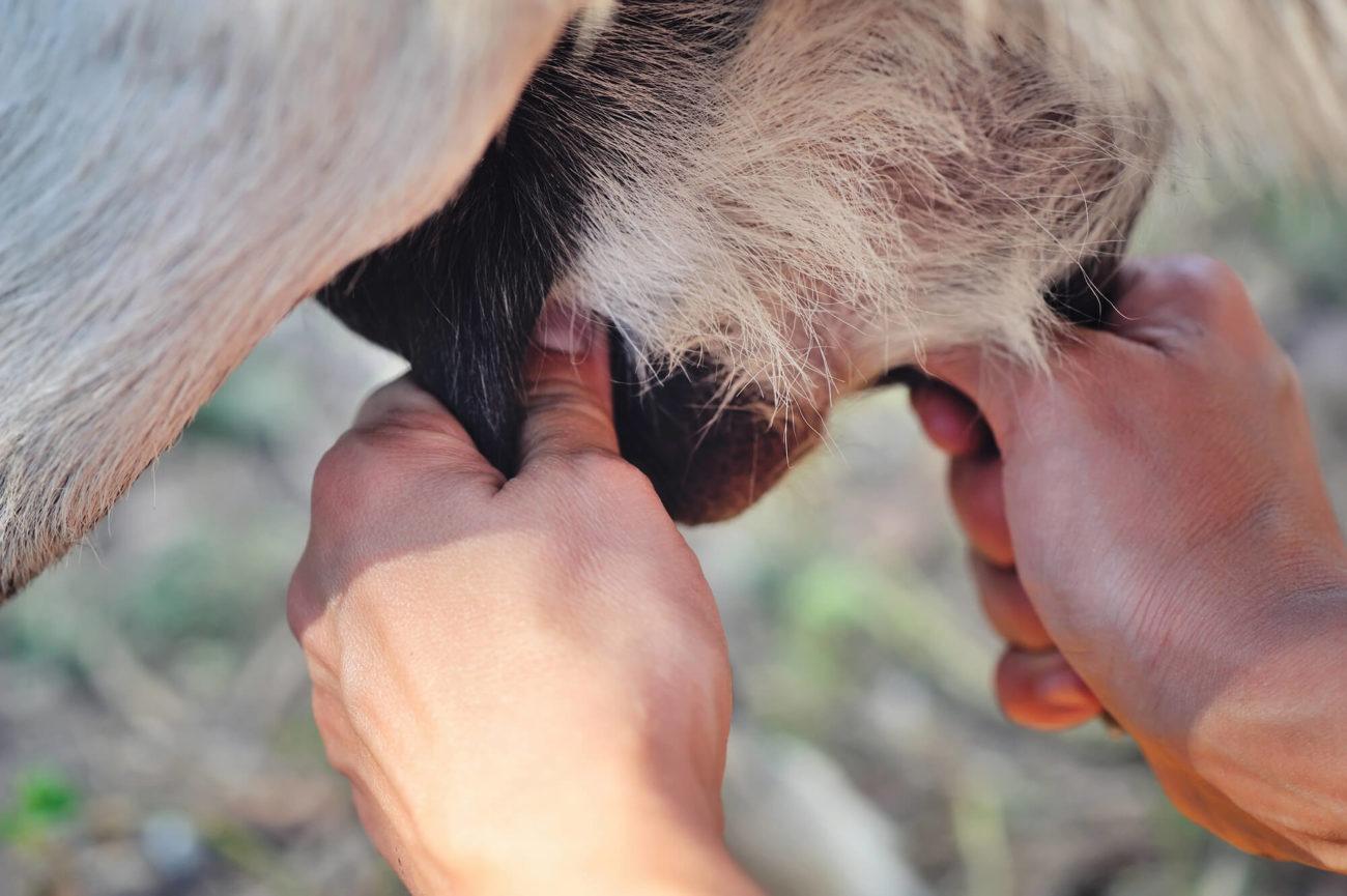 Техника массажа козы