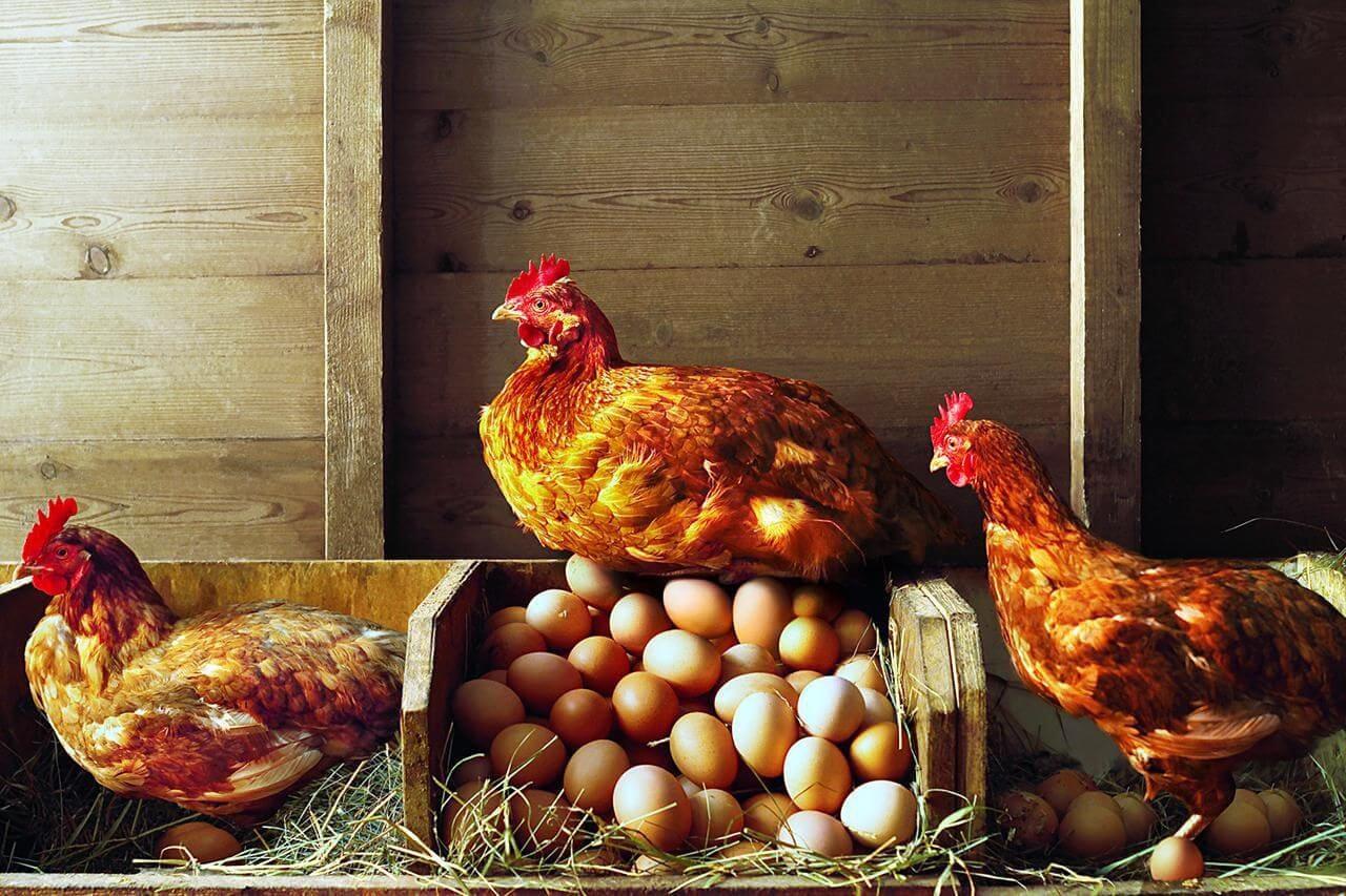 почему куры перестали нести яйца