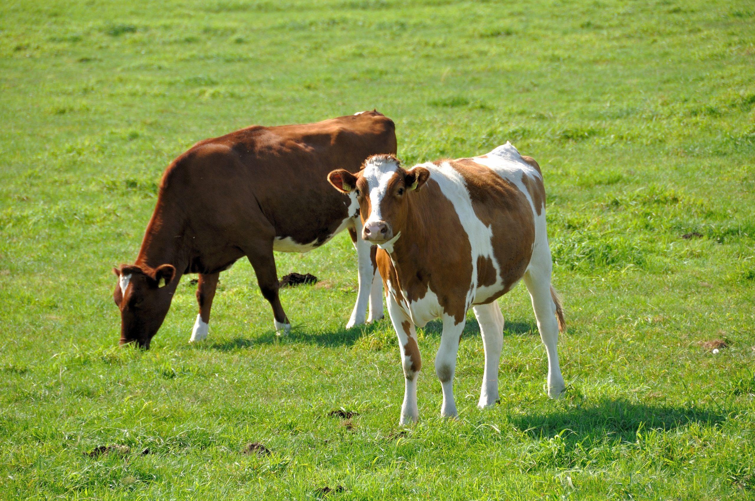 почему корова ест траву