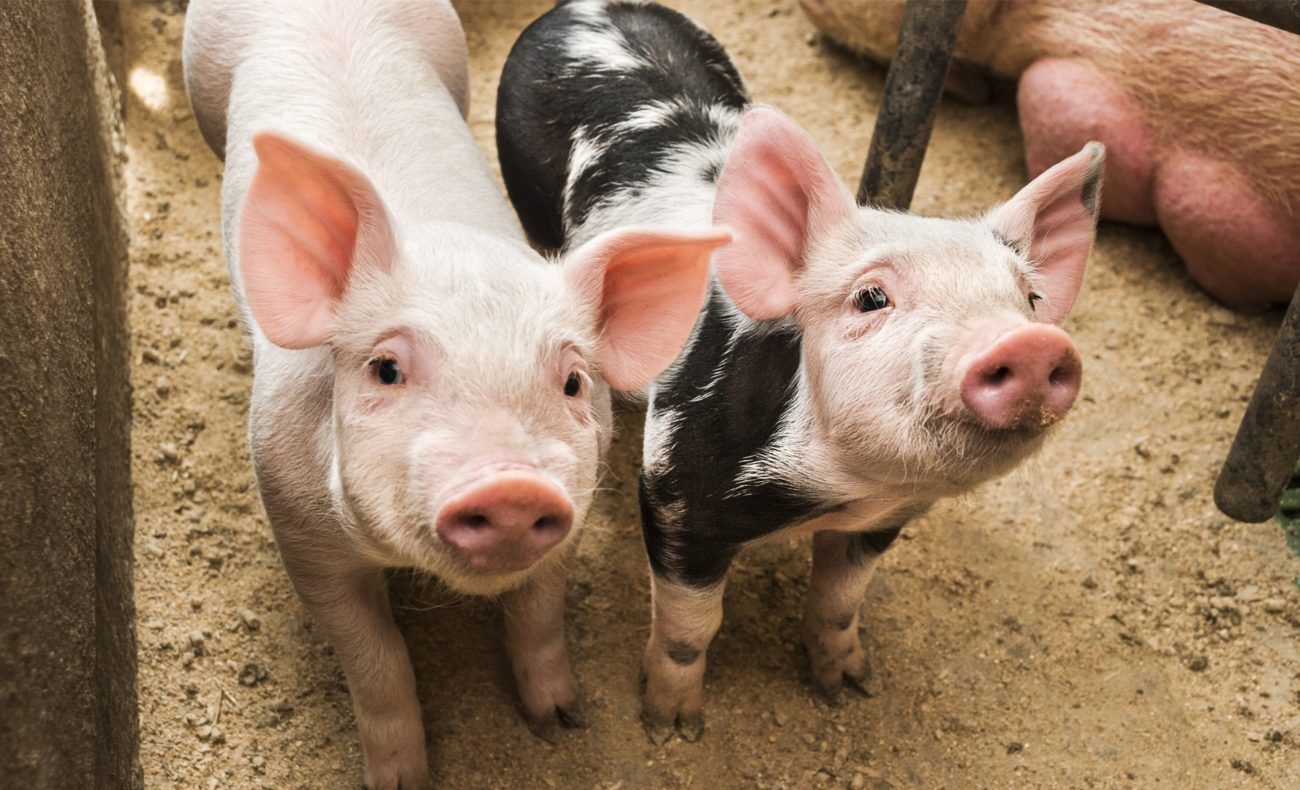 таблица весов свиней