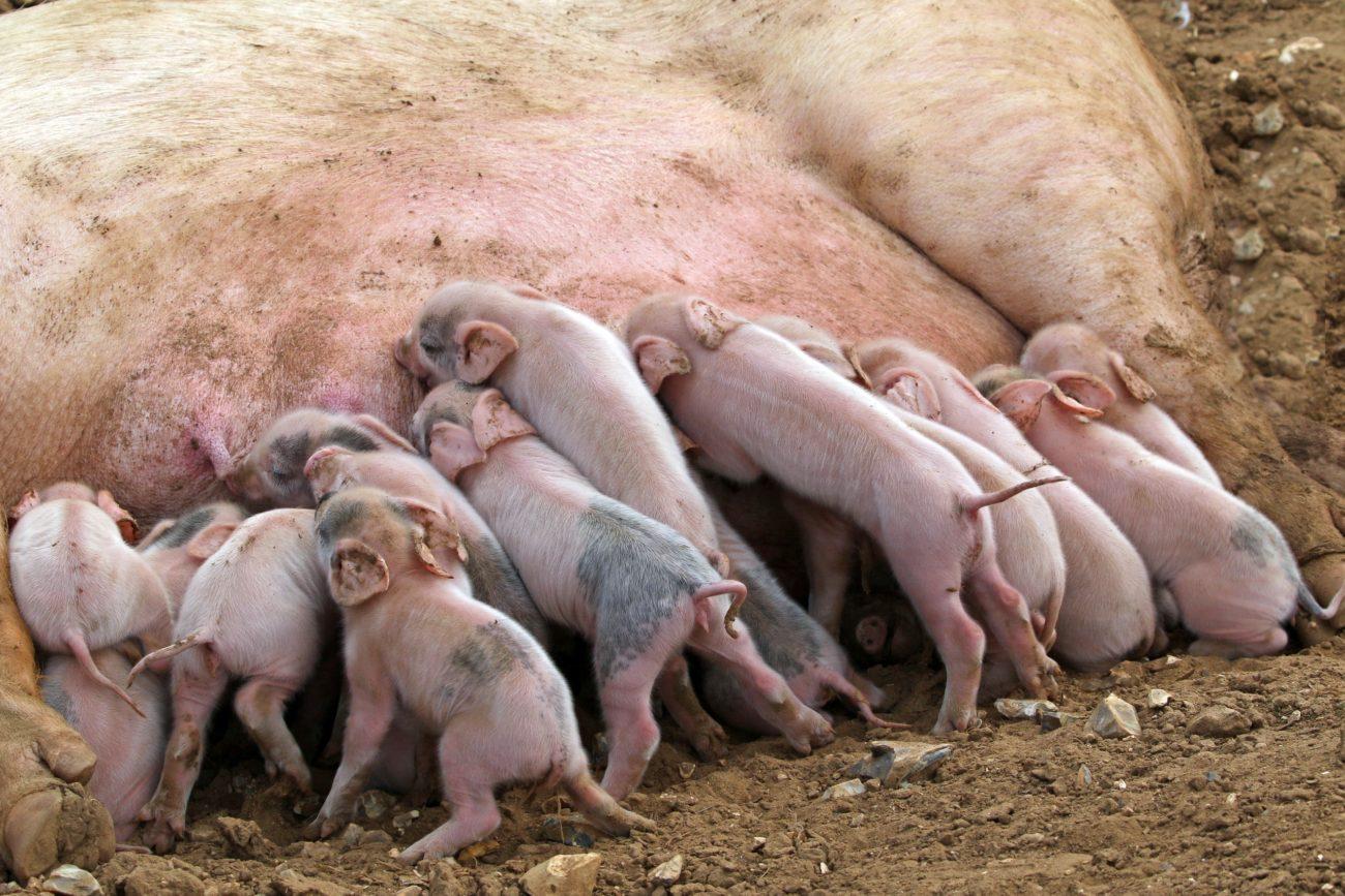 сколько стоит свинья