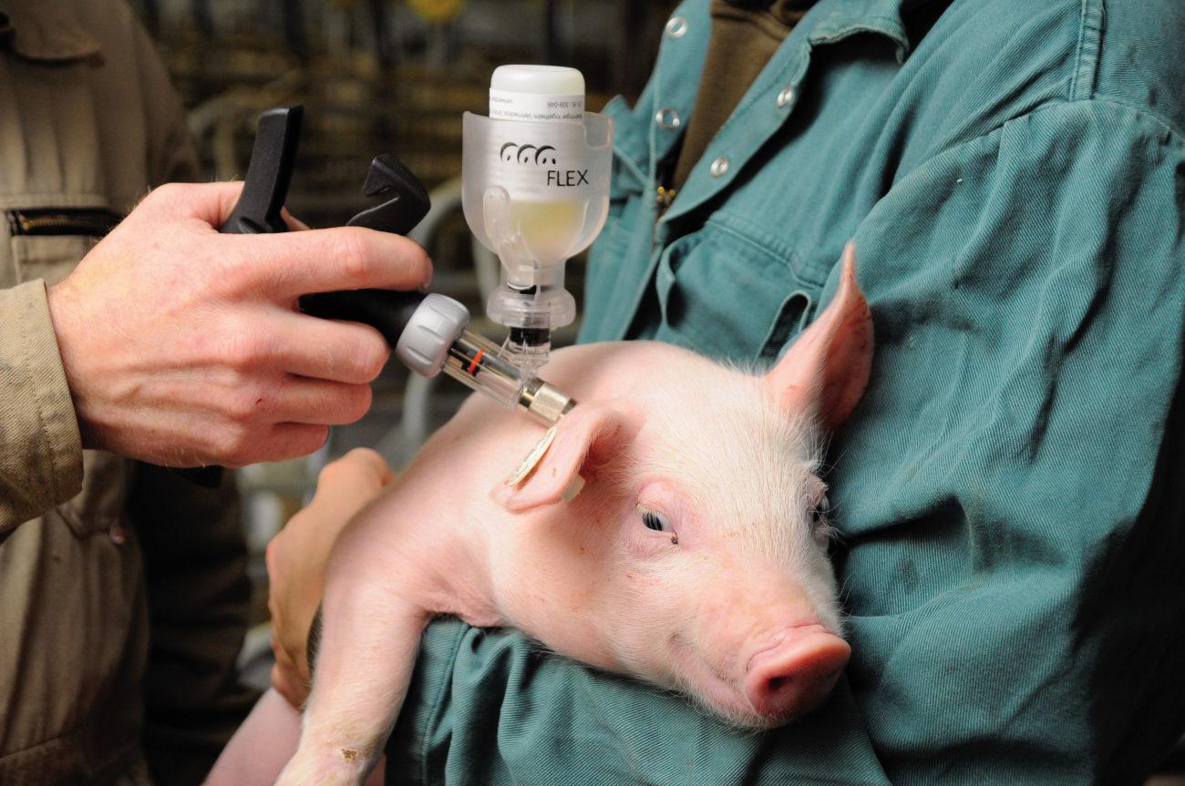температура тела свиньи