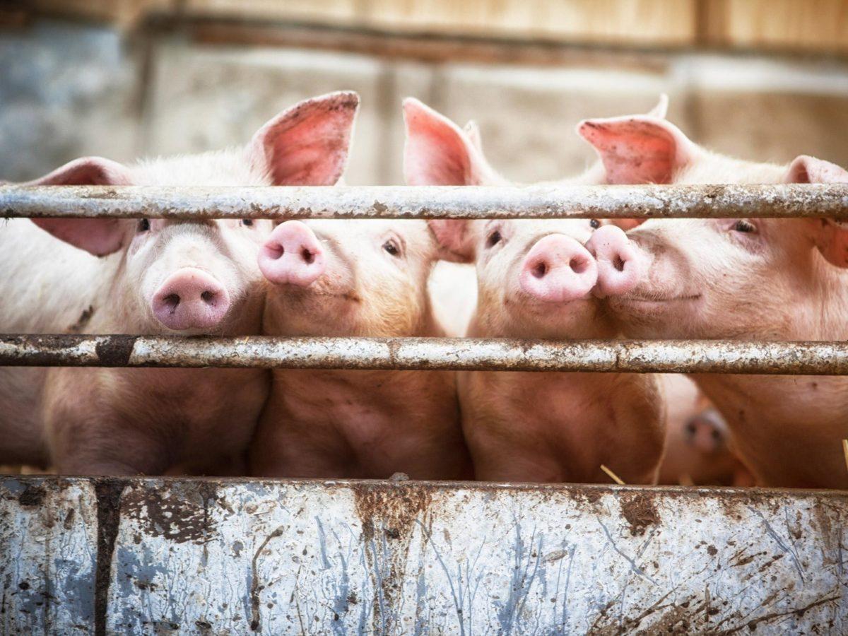 правила содержания свиней