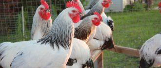 серебристая порода кур