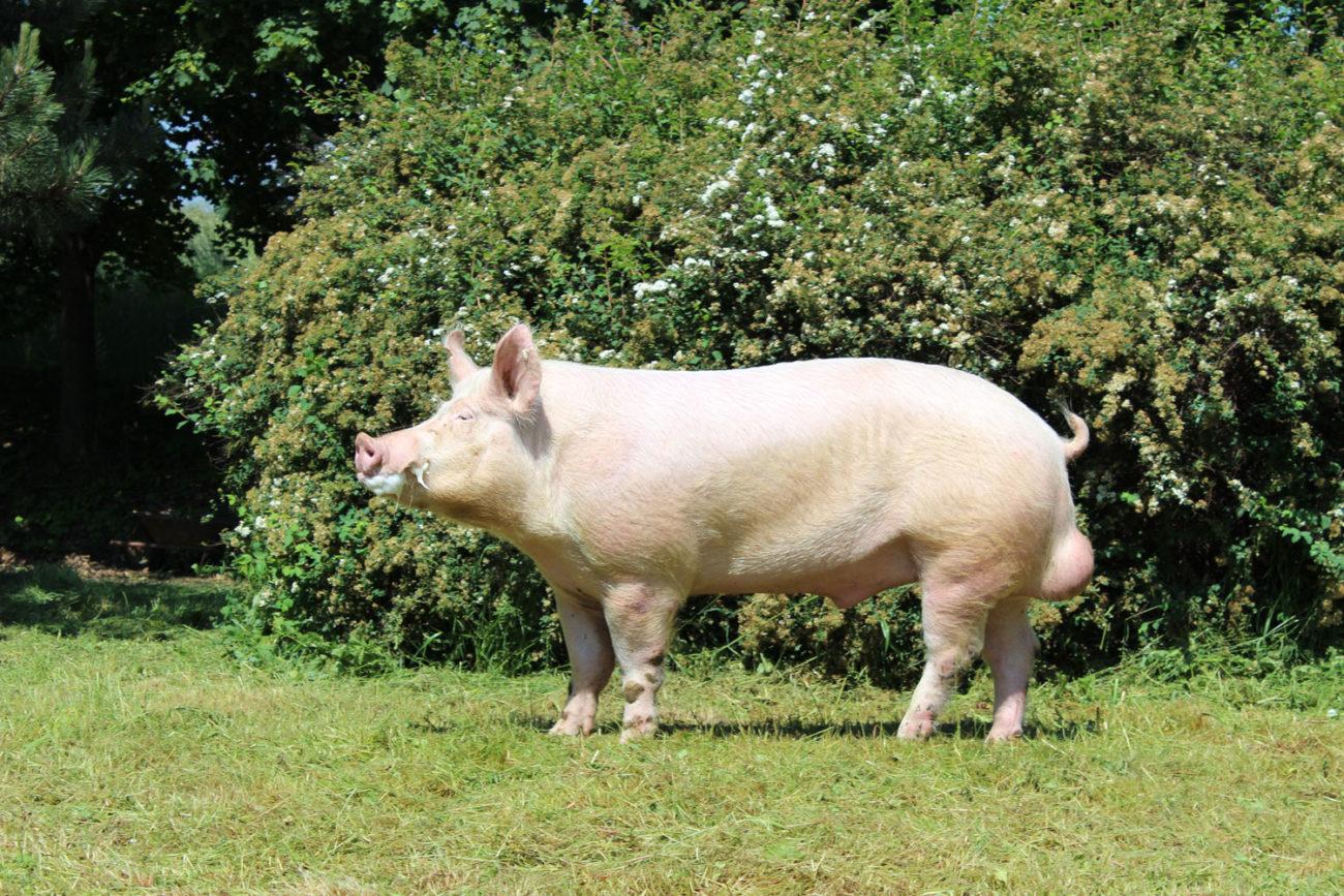 белая порода свиней