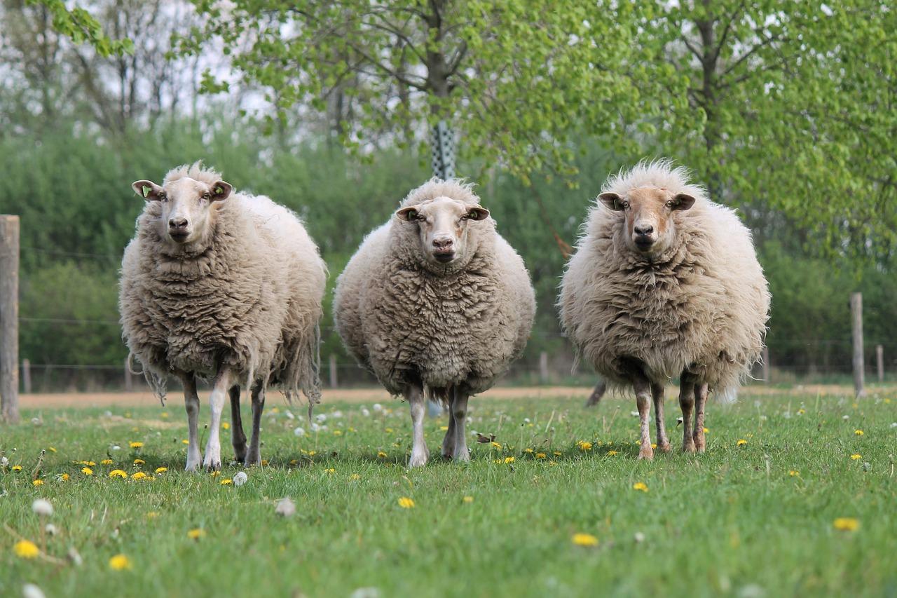 сколько стоит овца