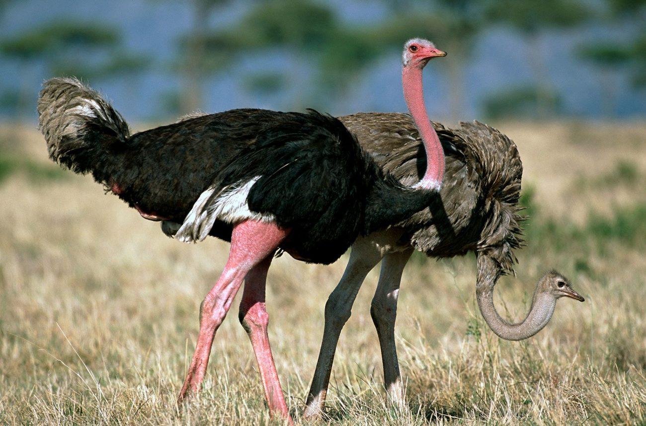 сколько живут страусы