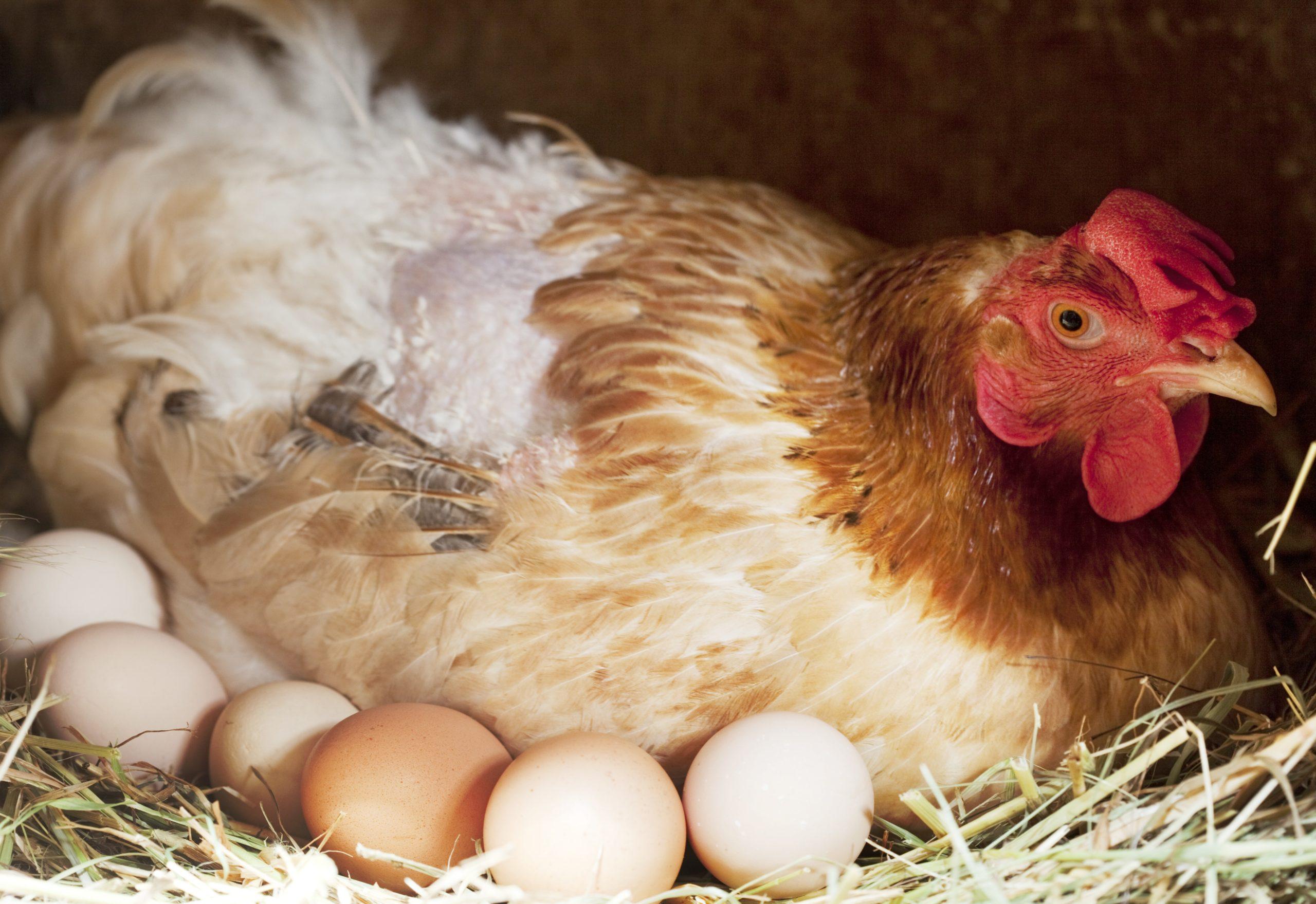 сколько в день несет курица
