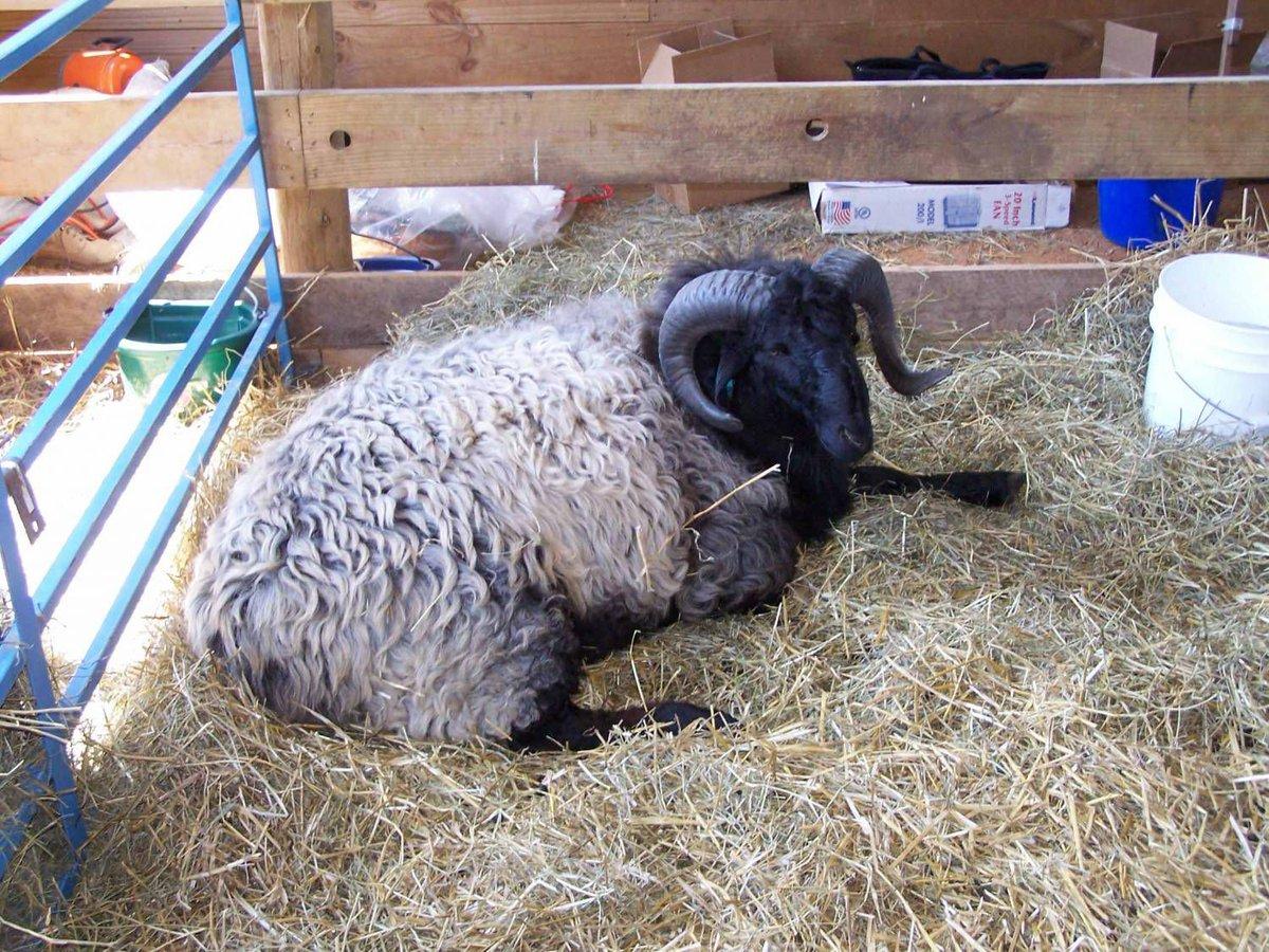 серая овца