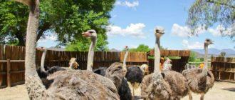 сколько стоит страус