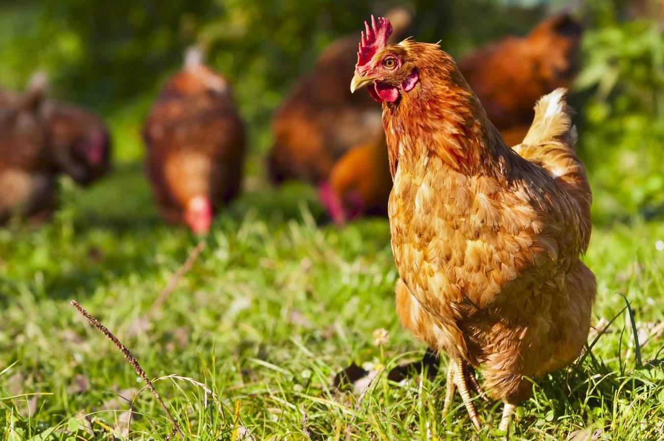 сколько живут курицы