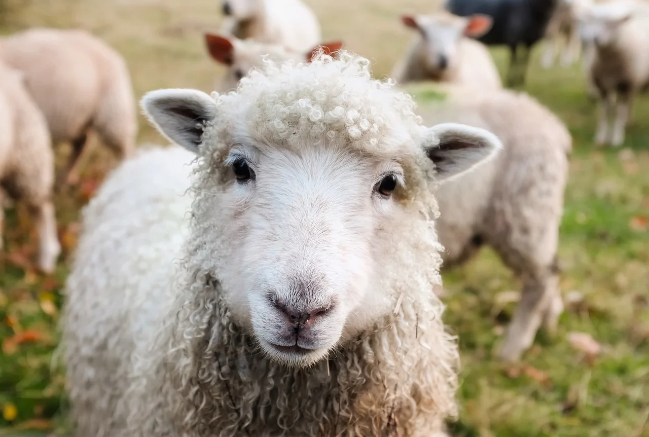 сколько живут овцы