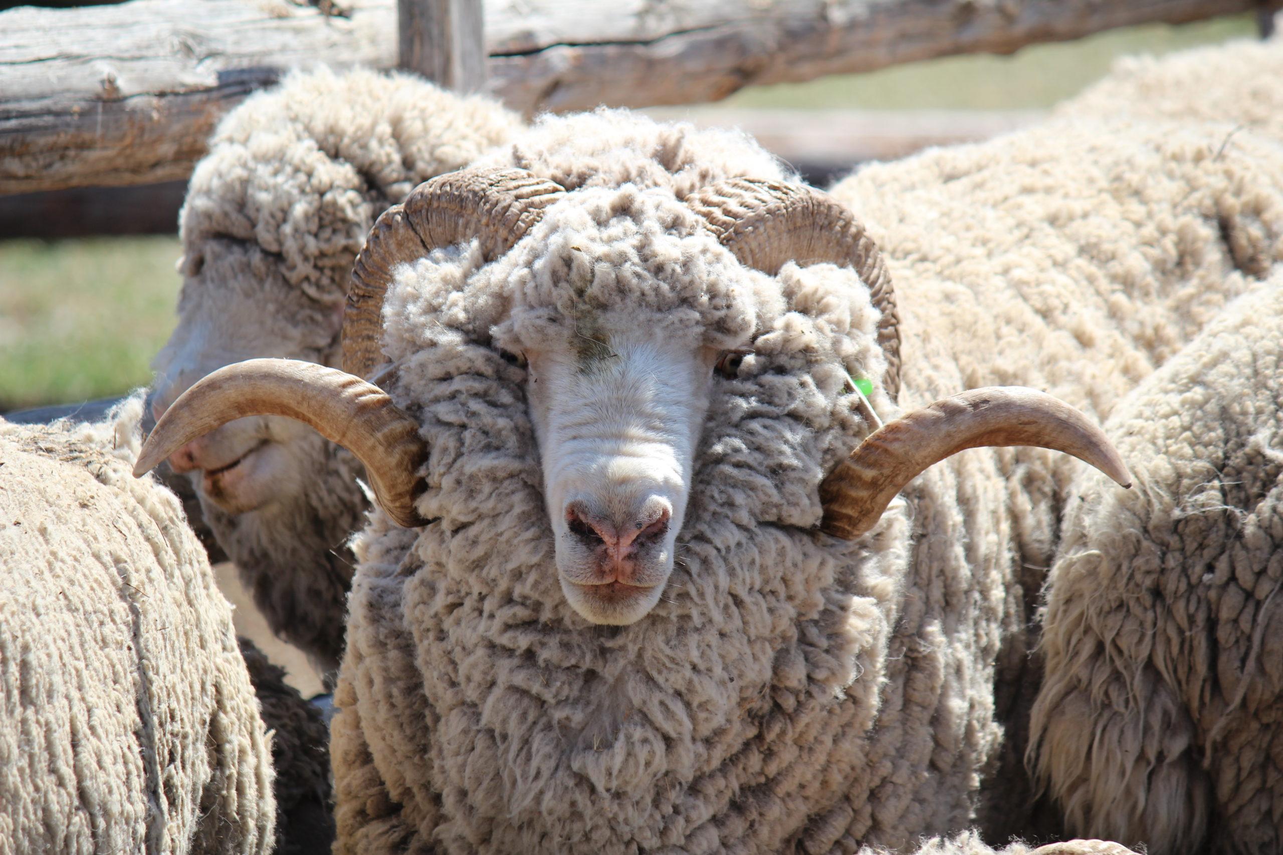 породы тонкорунных овец