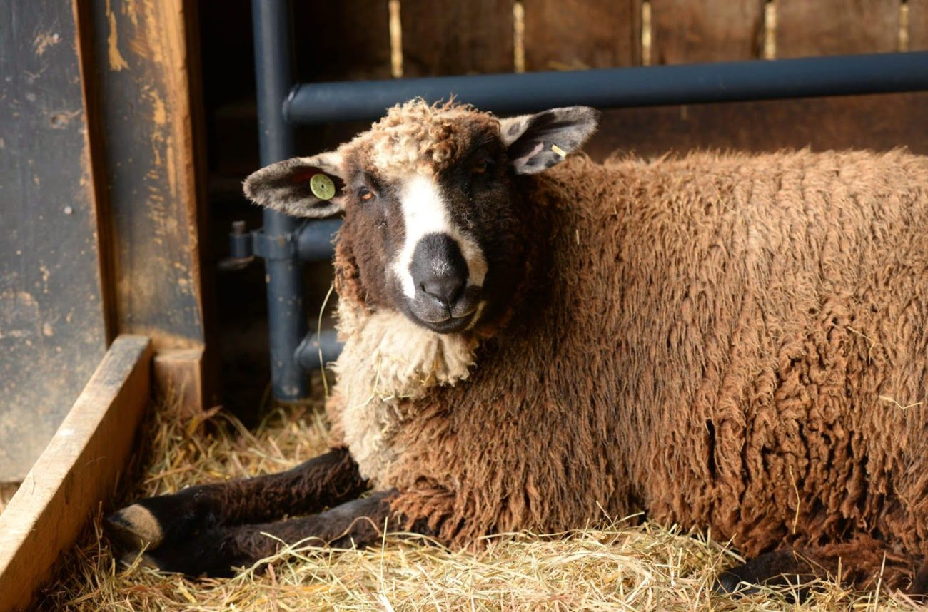 сколько беременна овца