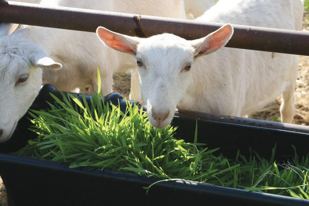 Питание домашних коз: что едят, виды корма и правила кормления