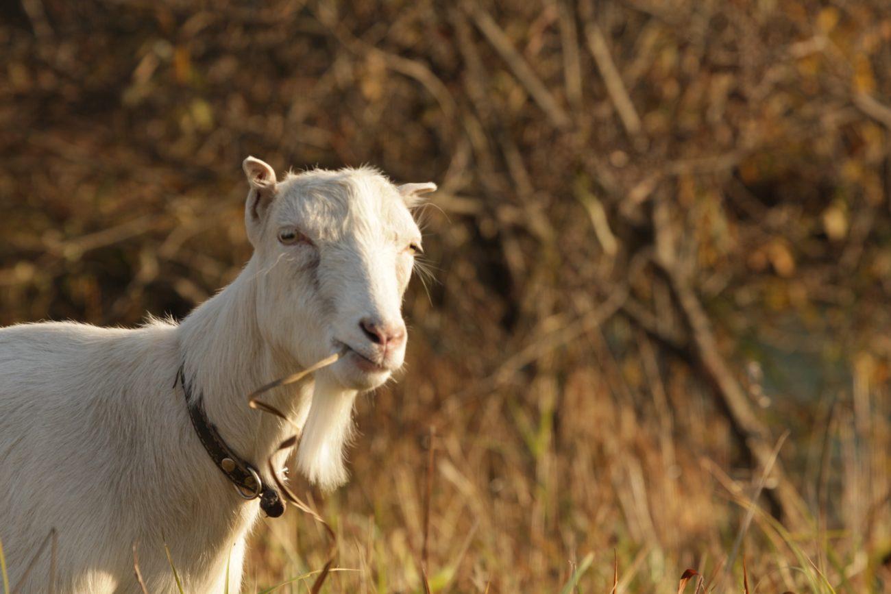 Порода коз – Ламанча: описание, продуктивность, уход и разведение